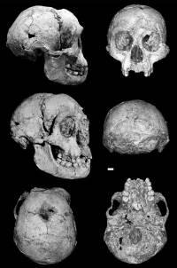 Flores_man_skull_1