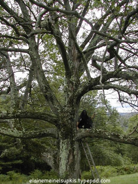 Ancient_oak_tree_2