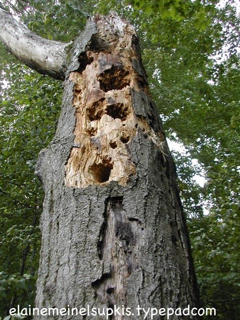 Bear_rips_apart_termite_nest_2