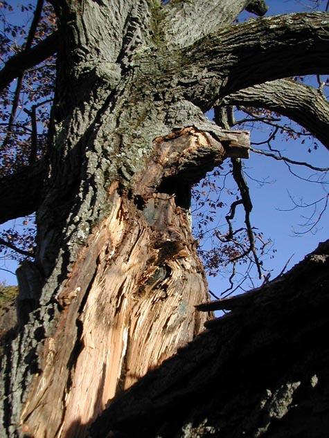 Oak_tree_split