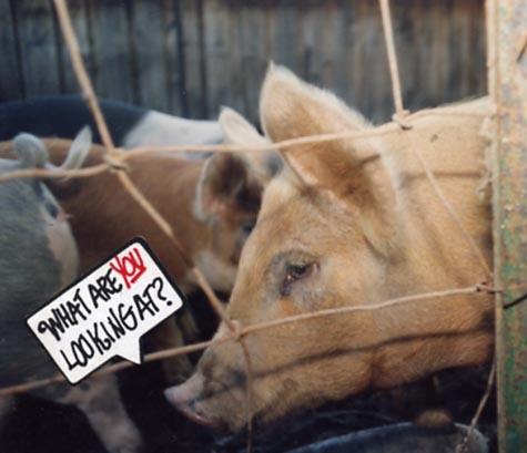 Pig_philosopher