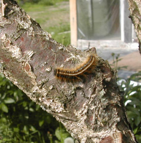 Gypsy_caterpillar_big