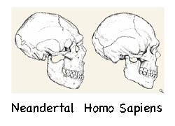 Homosapiens_neanderthal_skulls