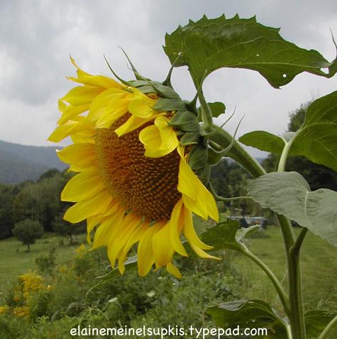 Pretty_sunflower_big